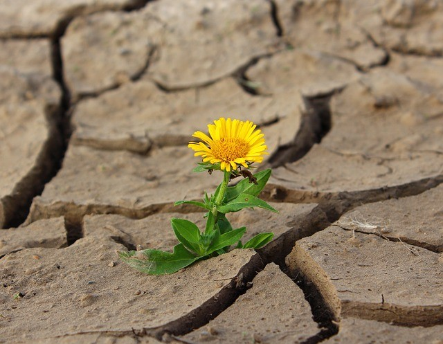 dandelion in the ground