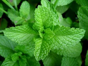 Image of peppermint plant